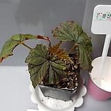 판그레스(베고니아)|Begonia