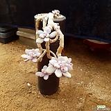 아마조네스 컷팅목대 대품|Graptopetalum Amazones