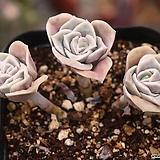 러블리로즈 군생 S4757|Lovely Rose