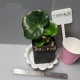 연잎베고니아|Begonia
