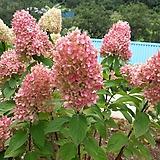 유럽목수국(특대)|Hydrangea macrophylla