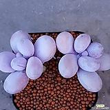 문스톤 목대좋고짱짱합니다 210|Pachyphytum Oviferum Moon Stone