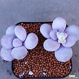 문스톤  엄청짱짱하고예뻐요 261|Pachyphytum Oviferum Moon Stone