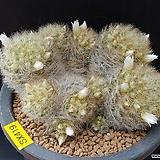 맘밀라리아 라우이-419 (실생,W:10.5cm,백화)|Echeveria laui
