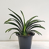 군자란/공기정화식물/반려식물/온누리 꽃농원|