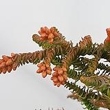 스프링삼나무|