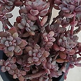 묵은퍼플드림_21|Graptoveria cv Purple Dream