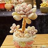 월미인자연목대|Pachyphytum oviferum Tsukibijin