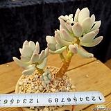 이미인군생|Pchyphytum oviferum mikadukibijin