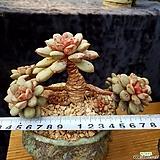 홍포도목대|Graptoveria Ametum