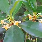 후피향나무~~꽃의 달콤한 향기와 열매가 아름다운 후피향|