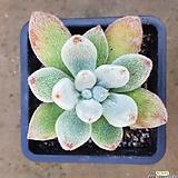 레우코트리카 v. 프로스티 (원종) (Echeveria leuchotricha v. Frosty, original species)|Echeveria pulvinata Frosty