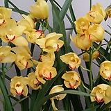 심비디움 1888-3.2대.다시입고.노랑색에밤색의립프.꽃대2대.은은한 향기(아주좋은향).잎촉많은 상품.인기상품.상태굿.|