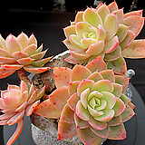 핑크베라35