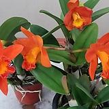 카틀레야 신풍오렌지.꽃수명 3개월에서4개월간다고 합니다.선명한주황색.너무 예뻐요.상태굿.꽃대있어요.|
