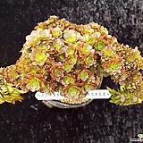 할로윈철화 묵은둥이|