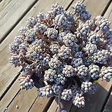 묵은대품 블루빈스|Graptopetalum pachyphyllum Bluebean