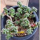 옥연(자연군생 한몸)|Sedum furfuraceum