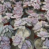 퍼플딜라이트 0219-52[랜덤발송] Graptopetalum Purple Delight
