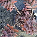 묵은프리티_41|Graptoveria Gilva
