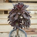 흑법사 0219-34 Aeonium arboreum var. atropurpureum