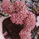 블렛블루아나 철화|Echeveria bradburiana