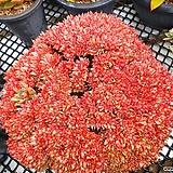 레드스타(식물크기 35cm)|Echeveria agavoides Akaihosi