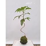 황칠나무 이끼볼 도자기수반 세트 실내화초 공기정화식물 가습식물
