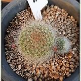 무스쿨라(rebutia musclar) 선인장 실생(꽃대형성)|