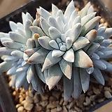 묵은자연군생 화이트그리니|Dudleya White gnoma(White greenii / White sprite)