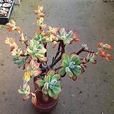 금황성 대품|Echeveria pulvinata