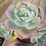 묵은자연군생 화이트로즈|Echeveria white rose