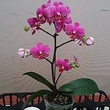 호접란 미니딜라이트.가지많음.(사랑스러운형).(귀여운 핑크색).화려한색.예쁜색.고급스러운색.고급종.인기상품.|