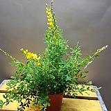 애니시다(노오란꽃이  피면 향기가 달콤해요)  봄을 알리지요|