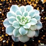 화이트미니마금|Echeveria White Minima