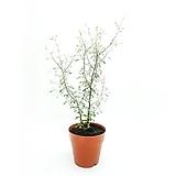 마오리 코로키아 감성식물|