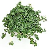 타라 행잉식물|
