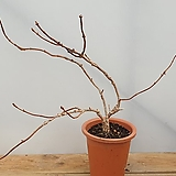 바위수국|Hydrangea macrophylla