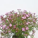 사랑스런 핑크빛 예쁜 얼굴 향기로운 피나타 보르니아|