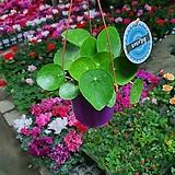 필레아페페/공기정화식물|