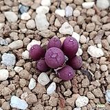 conophytum유비포르미sp