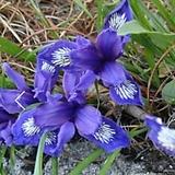 토종 난쟁이붓꽃