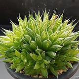 쿠페리 픽투라타-441 (실생,군생,W:11.0cm)|Haworthia cooperi