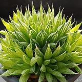쿠페리 픽투라타-442 (실생,군생,W:11.0cm)|Haworthia cooperi