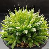 쿠페리 픽투라타-443 (실생,군생,W:11.0cm)|Haworthia cooperi