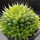쿠페리 픽투라타-444 (실생,군생,W:10.5cm)|Haworthia cooperi