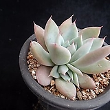블루마운틴131|Echeveria Blue Mountain