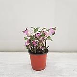 카멜레온달개비/공기정화식물/반려식물/온누리 꽃농원|