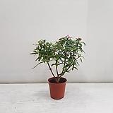 천리향 특가/공기정화식물/반려식물/온누리 꽃농원|