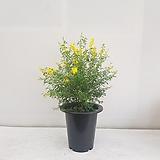 애니시다/공기정화식물/반려식물/온누리 꽃농원|